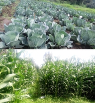 Cabbage and Maize from Faecal Matter Products