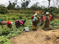 Mother group members harvesting nutritious potato greens