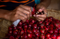 Empowering smallholders for organic nutmeg Indonesia