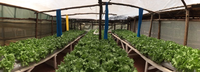 Hydroponics for urban low income groups