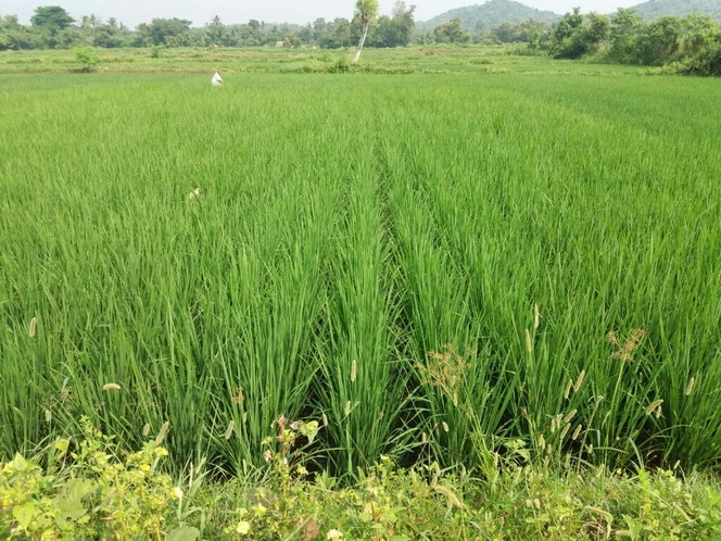 Paddy cultivation in kishochandrapur